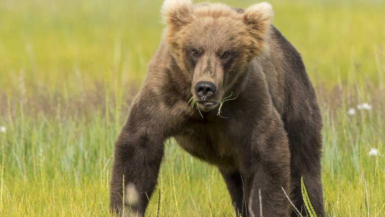 Combination Defense Against Grizzly Bear