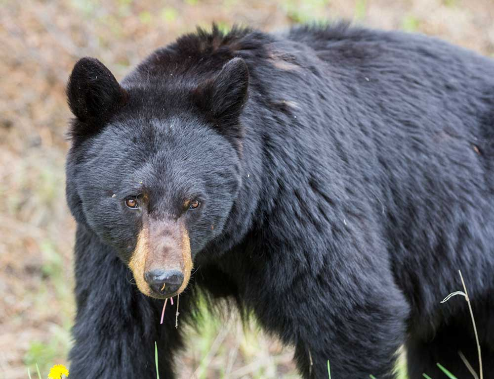 2021 31 July, Record for Annual Fatal Bear Attacks already Tied