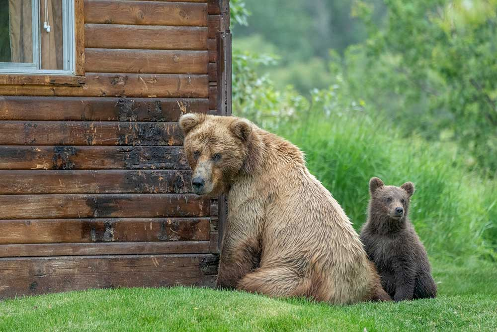 Bear vs People Conflicts Spike in Idaho with Aggressive Bears Killed